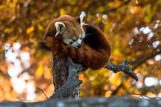 Red Panda at Marwell