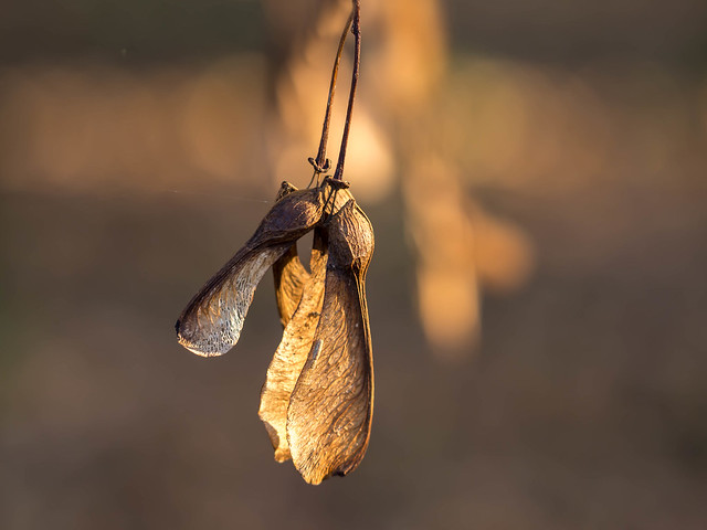 Sycamore seeds in golden morning light