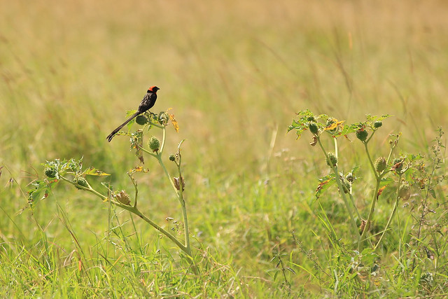 A lone red-collard widowbird - Maasai Mara, Kenya, 2012