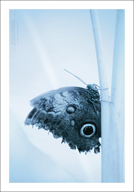 The Blues of the Butterfly
