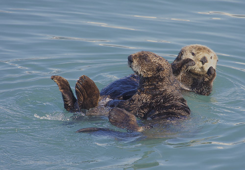 "Northern Sea Otter (Enhydra lutris) | by Gregory ""Slobirdr"" Smith"