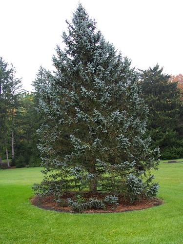 Blue Spruce | by F. D. Richards