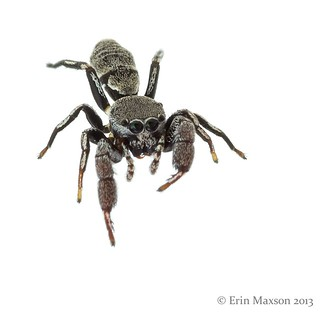 Belize ant-mimic jumping spider 2
