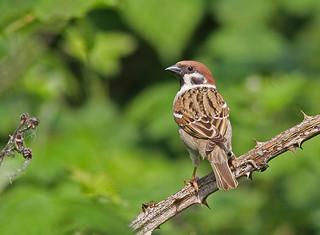 Tree Sparrow (Passer montanus), by Peter Alfrey