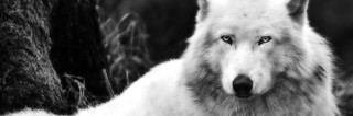 4351-black-and-white-wolf-facebook-cover | by katelynn19