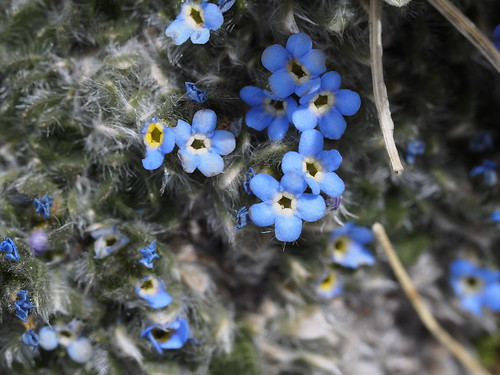 Alpine Forget-Me-Nots | by mount_evans