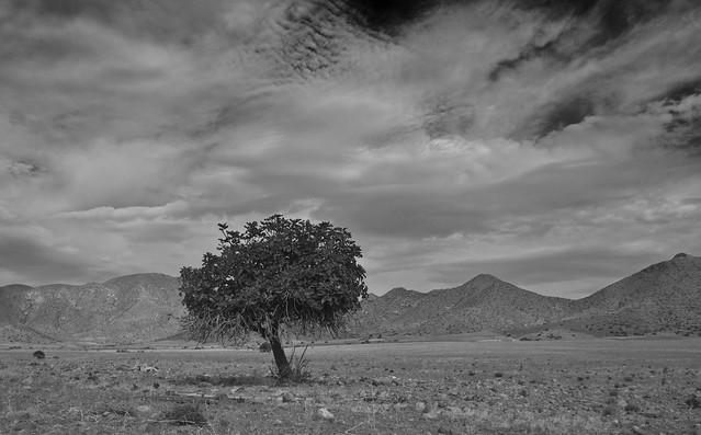 Single Tree at Cabo de Gata