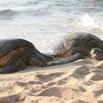 Killer turtles, Oahu