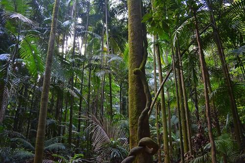 rainforest australia unescoworldheritagesite nsw treebark climber liane arecaceae palmforest northernrivers teraniacreek nightcapnationalpark archontophoenixcunninghamiana subtropicalrainforest nightcaprange bangalowpalms gondwanarainforestsofaustralia nationalparksandnaturereserves batcavecreek