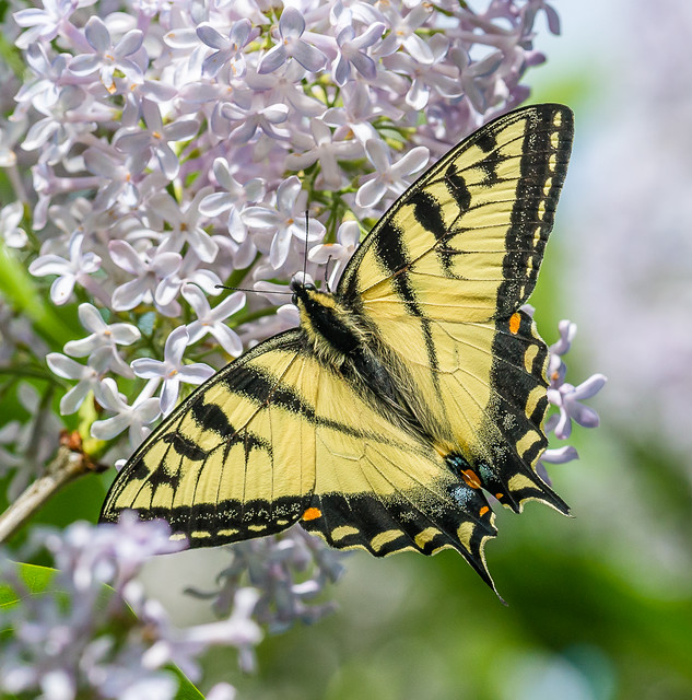 Canadian Tiger Swallowtail - Papilio canadensis (Papilionidae, Papilioninae, Papilionini) 114v-5204