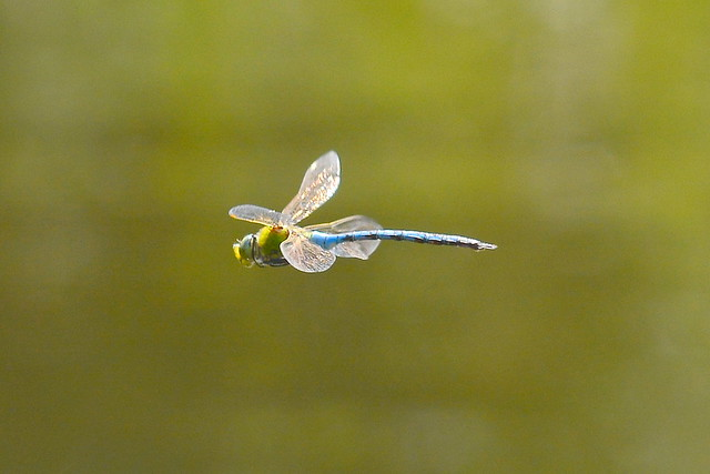Large Dragonfly In Flight ...