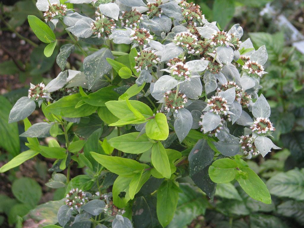 Pycnanthemum aff. muticum