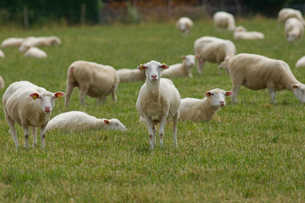 """Résultat de recherche d'images pour """"moutons"""""""