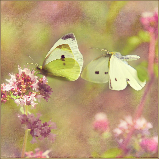 dance of the butterflies . . .