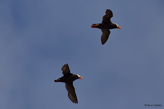 Tufted Puffins (Fratercula cirrhata), Cannon Beach, OR IMG_0385 | by Hart Walter