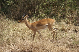 DSC03215 Impala (Lake Manyara NP)