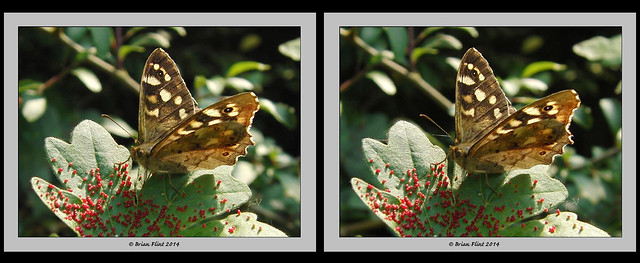 Speckled wood butterfly - 3d crossview