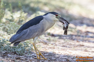 Black-crowned Night Heron (17603) | by Anthony OCBirds