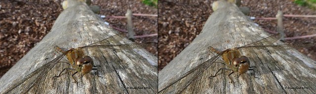 Common Darter on wood - 3d cross-view