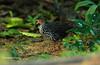 Sri Lanka Spurfowl,  male,   Galloperdix bicalcarata, Endemic, by Graham Ekins