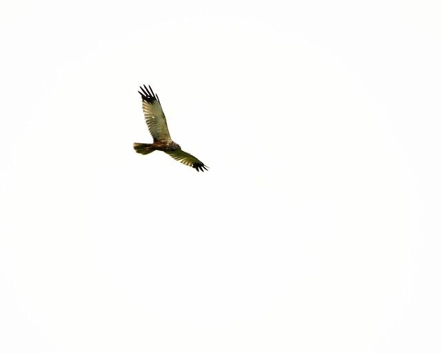 Marsh Harrier 04