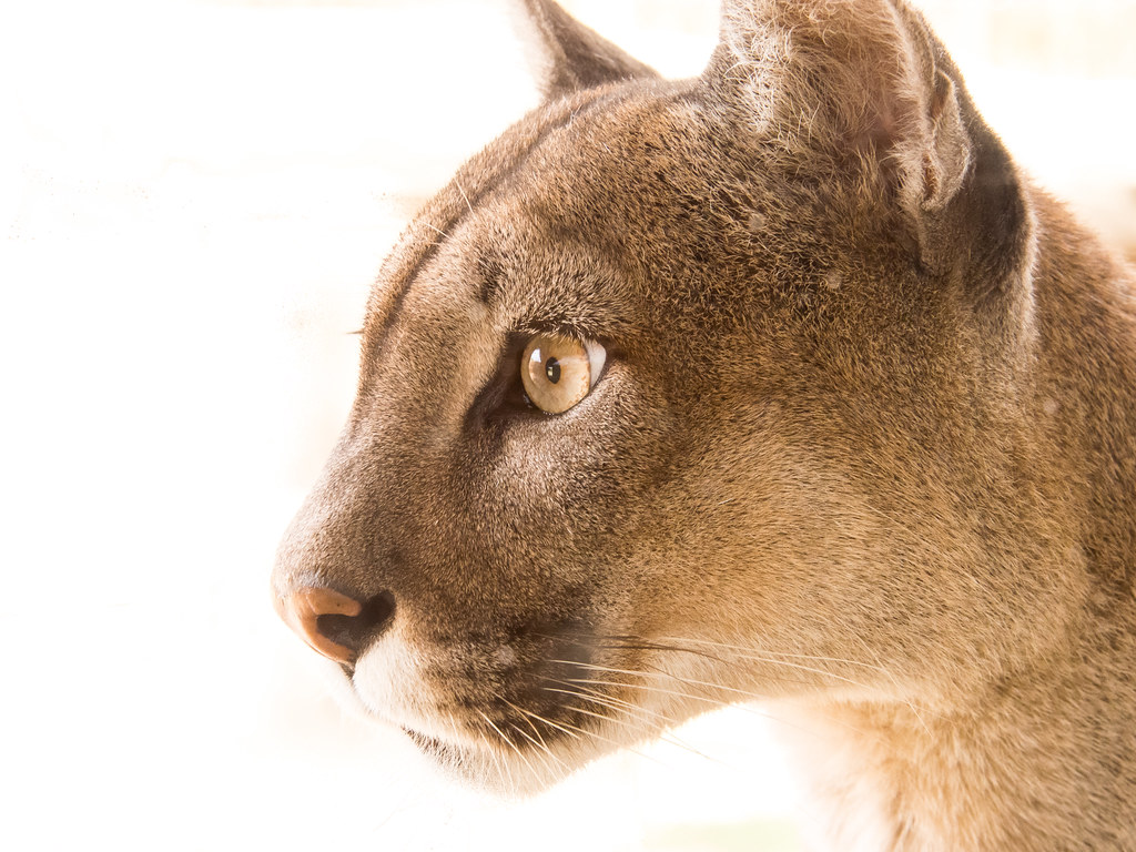 A puma at large, by L.G Alexander | Pumas are large, cat-lik… | Flickr