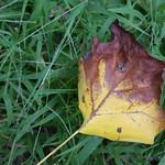 Leaf on lawn