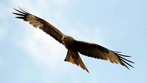Red Kite | by Thomas.Gut