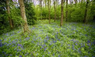 Oversley Bluebells (HDR) | by left-hand
