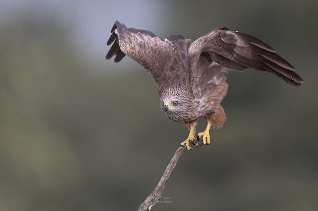Aïda, Milan noir ( Milvus migrans ) #853