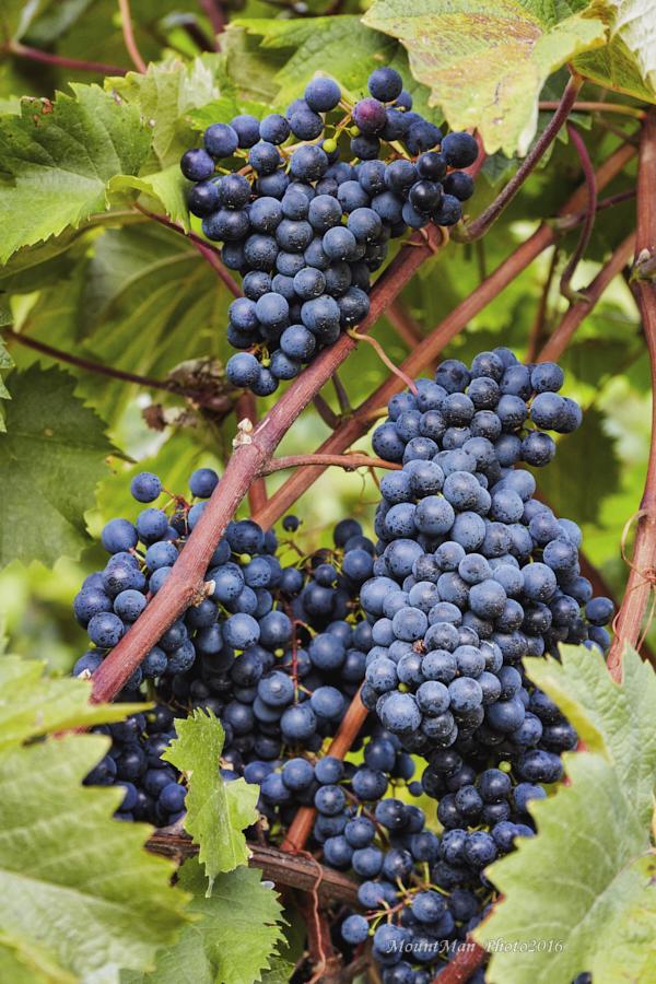 Iz vinograda kod sela Medveje u bazenu jezera Butoniga