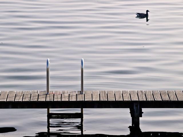 Watervogel en zwemsteiger