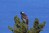 California Condor, Big Sur, Monterey, California by Terathopius