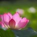 lotus by jhhuang