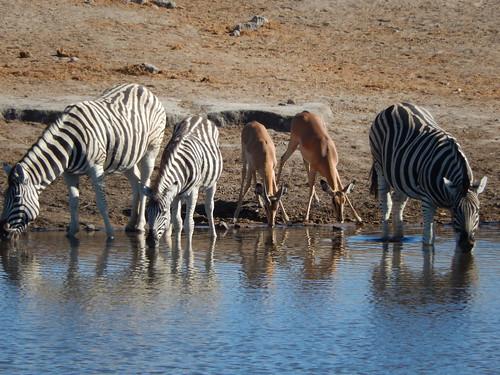 Etosha NP - zebras en springbokjes drinken