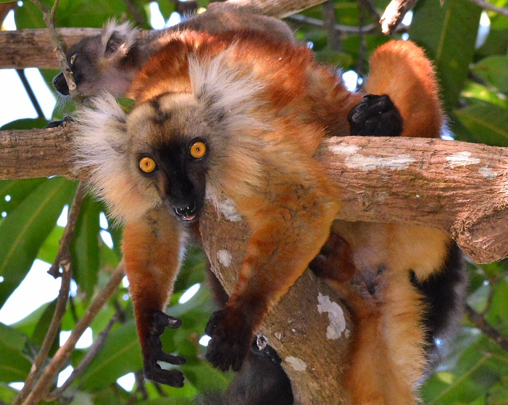 Black Lemur just 'Hanging Around' with infant (the female is brown), in a treetop canopy at Nosy Be, North-west Madagascar.