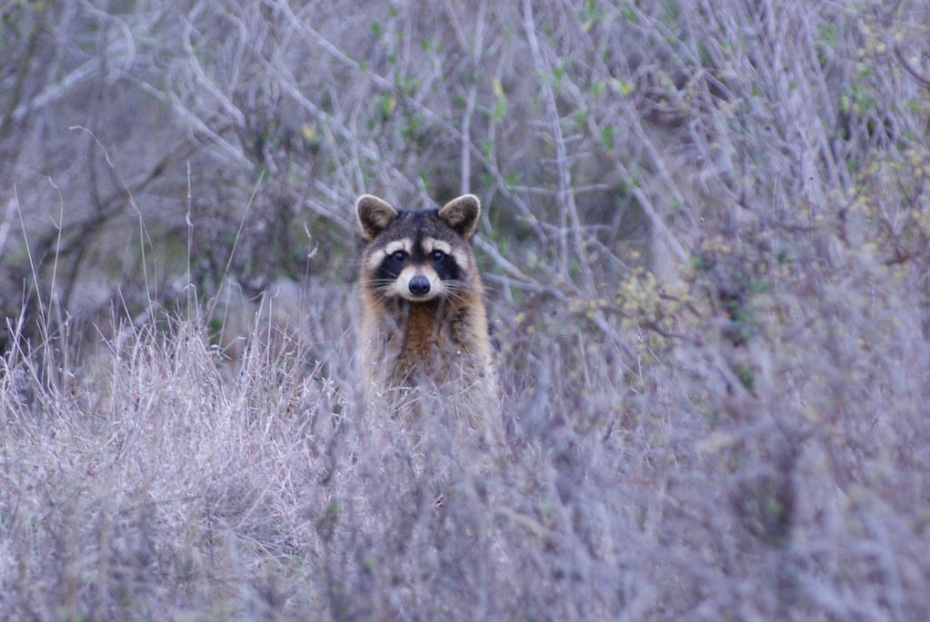 Raccoon Aransas NWR