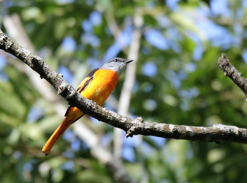 Grey-chinned Minivet | by Thomas.Gut