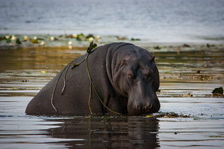 Hippo playing coy