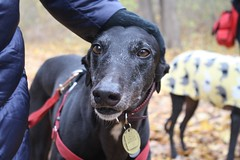 Greyhound Adventures at World's End, Hingham MA, Nov 20th 2016