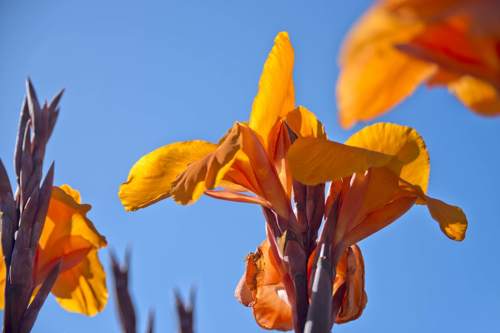 Canna Flowers (Explore)