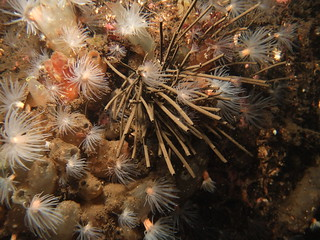 Peacock worms (Sabella pavonina), sea loch anemones (Protanthea simplex) & various squirts | by Jlynott