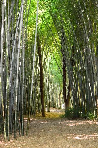 bamboo cherokee cherokeeindianreservation biltmoreestateandgardens ocanalufteeisland