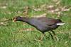 Dusky Moorhen - Gallinula tenebrosa by arthurgrosset