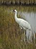 tallest North American bird by DigitalLyte