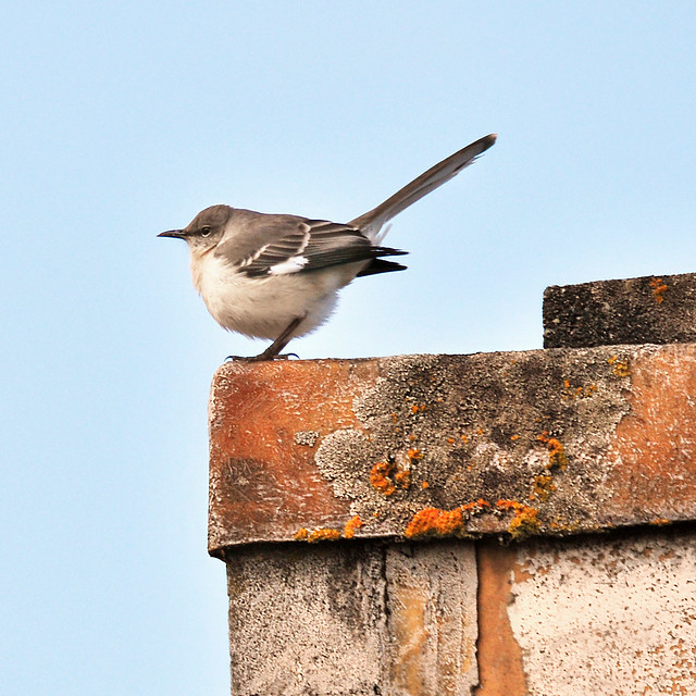 northern mockingbird . . .