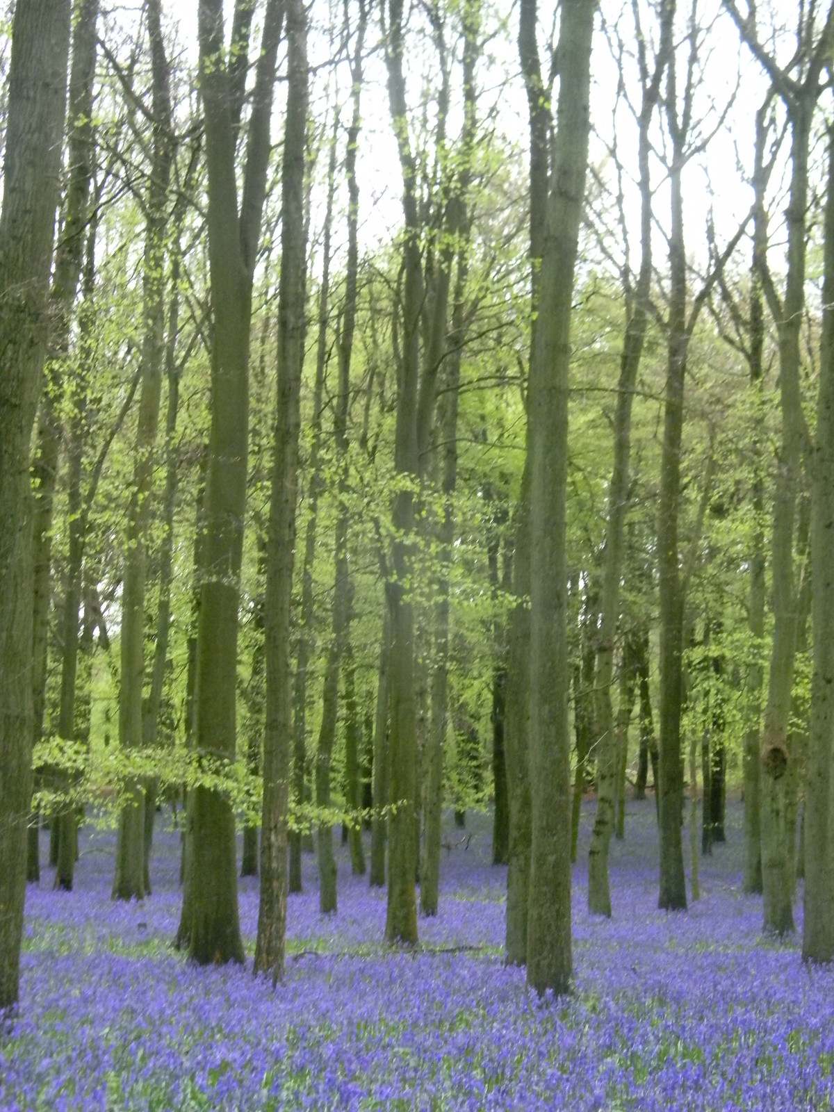 Dockey Wood bluebells Tring to Berkhamsted Dockey Wood