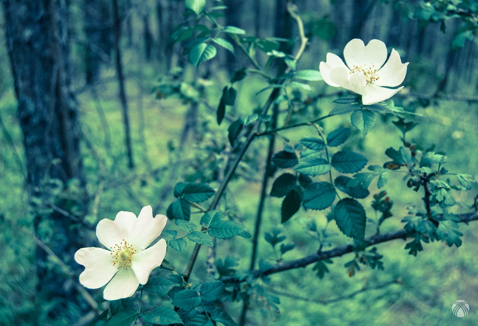 Rosal silvestre