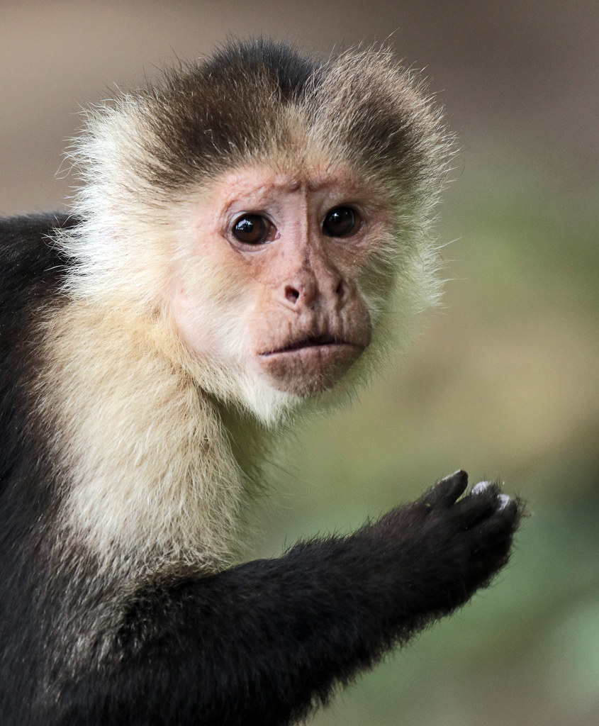 gracile capuchin monkey apenheul JN6A8171 | safi kok | Flickr