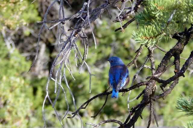 Blue Bird, Grand Canyon National Park - Arizona